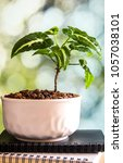 Small photo of Syngonium wendlandii growing in the small ceramic pot, houseplant for room decoration