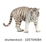 White Tiger. Isolated  Over...