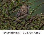 beautiful little sparrow bird... | Shutterstock . vector #1057047359