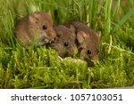 harvest mice mouse micromys... | Shutterstock . vector #1057103051