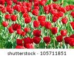 garden with tulip flowers in... | Shutterstock . vector #105711851