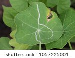 Small photo of Liriomyza brassicae commonly known as the cabbage leafminer on nasturtium (Tropaeolum) leaf. It is a species of insect, a fly in the family Agromyzidae. It is pest of many crops.