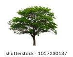 east indian walnut or rain tree ...   Shutterstock . vector #1057230137