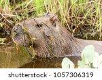 capybara  hydrochaeris...   Shutterstock . vector #1057306319