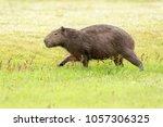 capybara  hydrochaeris...   Shutterstock . vector #1057306325