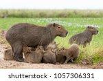 capybara  hydrochaeris...   Shutterstock . vector #1057306331