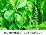 ocimum gratissimum  tree basil  ... | Shutterstock . vector #1057324127