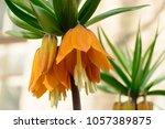 Blooming Crown Imperial ...