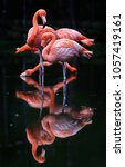 Pink Flamingos Against Dark...