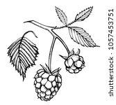 hand drawn raspberry set... | Shutterstock .eps vector #1057453751