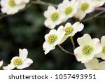 Dogwood Flowers   Photograph Of ...