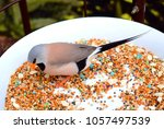 the long tailed finch  poephila ...   Shutterstock . vector #1057497539