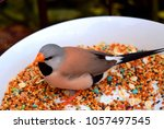 the long tailed finch  poephila ...   Shutterstock . vector #1057497545