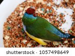 the gouldian finch  erythrura... | Shutterstock . vector #1057498649