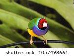 the gouldian finch  erythrura... | Shutterstock . vector #1057498661