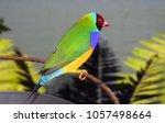 the gouldian finch  erythrura... | Shutterstock . vector #1057498664