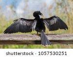 anhinga portrait  anhinga... | Shutterstock . vector #1057530251