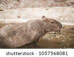 capybara in thai  thailand.   Shutterstock . vector #1057568081