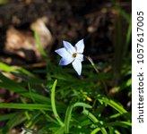 dainty pale blue starflower... | Shutterstock . vector #1057617005