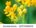 asclepias curassavica  bastard... | Shutterstock . vector #1057658654