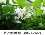 Beauty White Flower  Wrightia...