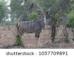Male Greater Kudu  Tragelaphus...