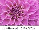 Flower Purple Chrysanthemum...