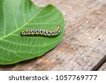 Beautiful caterpillar creeps on ...