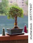 Little Chinese Elm As Bonsai...