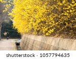 beautiful forsythia in spring... | Shutterstock . vector #1057794635
