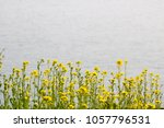 beautiful rape flowers in... | Shutterstock . vector #1057796531