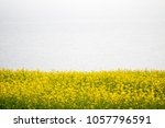 beautiful rape flowers in... | Shutterstock . vector #1057796591