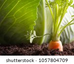 carrot vegetable grows in the... | Shutterstock . vector #1057804709