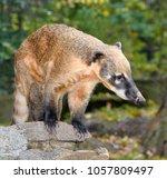 oati  genera nasua and nasuella ... | Shutterstock . vector #1057809497