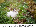 White Rabbit Siting In The...
