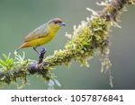 Olive Backed Euphonia  ...