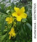 Small photo of Flower allamanda yellow