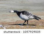 barnacle goose  branta... | Shutterstock . vector #1057929035