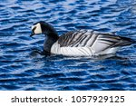 barnacle goose  branta... | Shutterstock . vector #1057929125