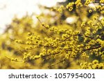 yellow spring blossoms of... | Shutterstock . vector #1057954001