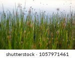 a swarm of mosquitoes over the... | Shutterstock . vector #1057971461