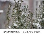 rosemary under the snow | Shutterstock . vector #1057974404