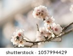 the almond tree blooms | Shutterstock . vector #1057994429