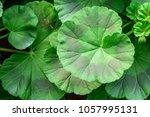Geranium  Pelargonium X...
