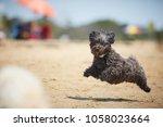 Black Havanese Dog Running On...