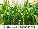 green field of corn growing up... | Shutterstock . vector #1058030984