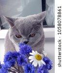 gray british shorthair  cat... | Shutterstock . vector #1058078861
