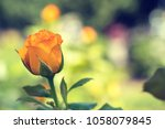 beautiful orange rose on green... | Shutterstock . vector #1058079845