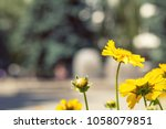 blooming yellow tender daisies... | Shutterstock . vector #1058079851