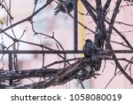 european starling bird on grape ... | Shutterstock . vector #1058080019